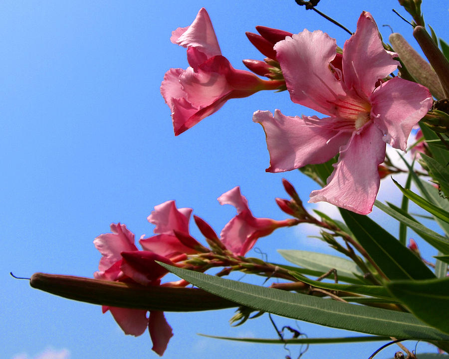 Oleander Flowers Wilting In The Brutal Florida Sun  Photograph by Allan  Hughes