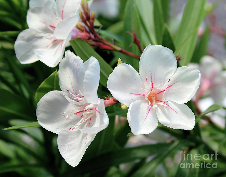 Oleander Harriet Newding 3 by Wilhelm Hufnagl