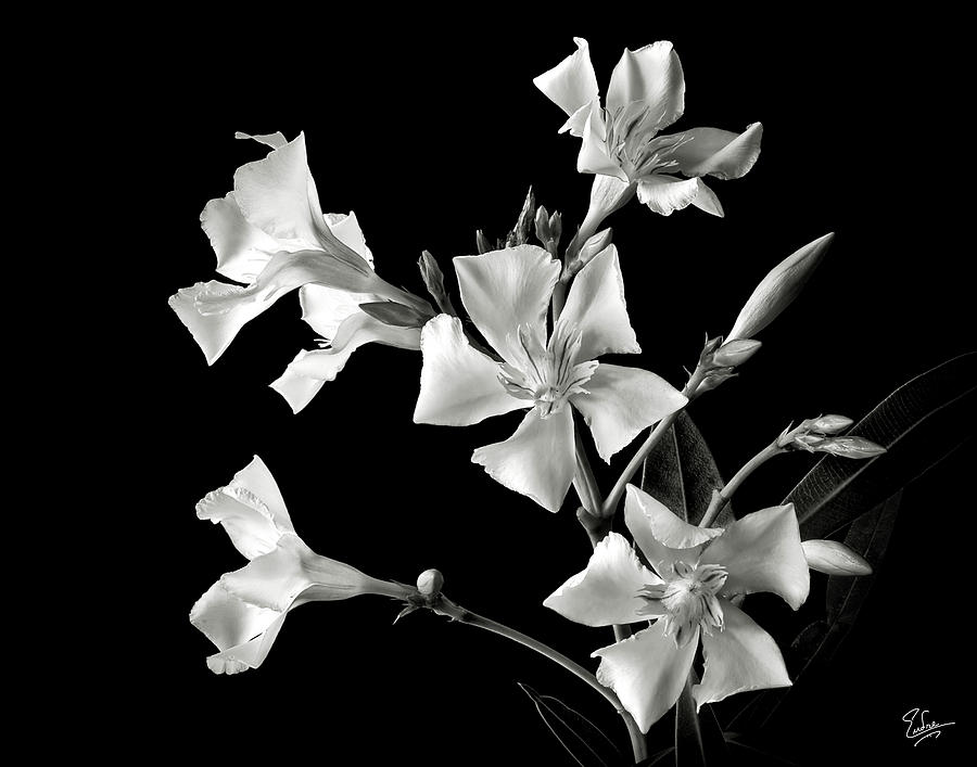 Flower Photograph - Oleander In Black And White by Endre Balogh