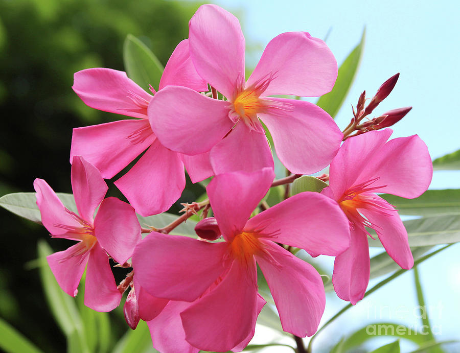 Oleander Photograph - Oleander Maresciallo Graziani 1 by Wilhelm Hufnagl