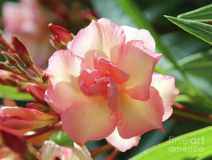 Oleander Photograph - Oleander Mrs. Roeding 1 by Wilhelm Hufnagl