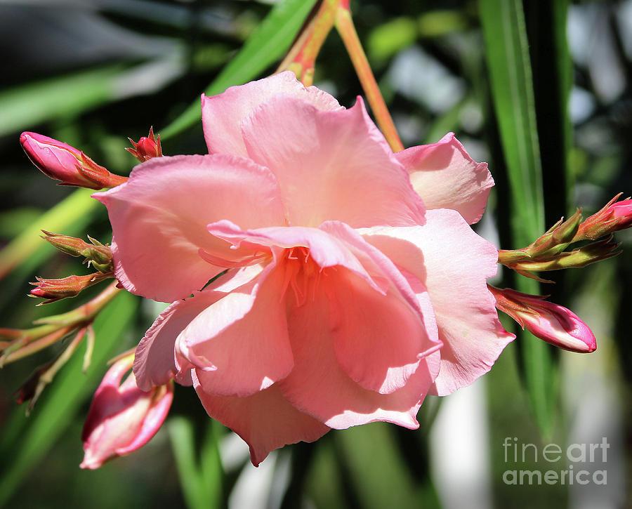 Oleander Photograph - Oleander Mrs. Roeding 3 by Wilhelm Hufnagl