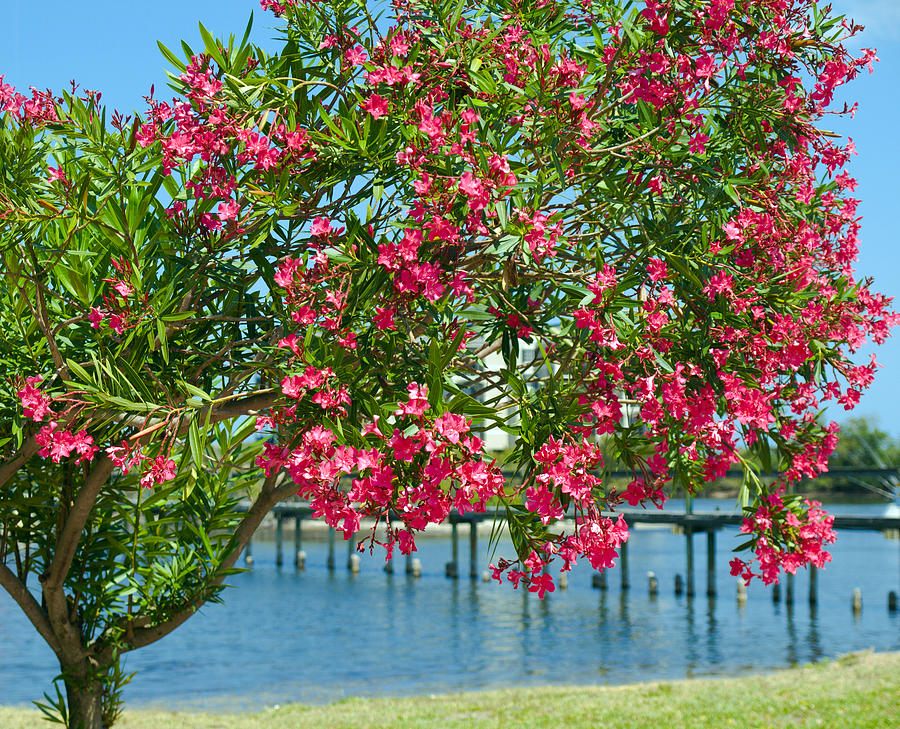 Oleander On Melbourne Harbor In Florida Photograph by Allan  Hughes