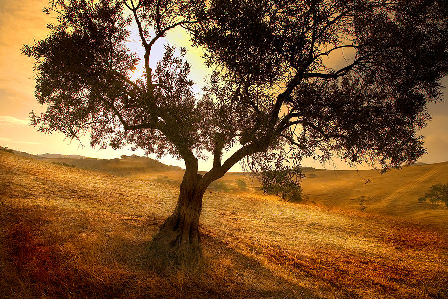 Olive Tree Dawn Photograph By Mal Bray