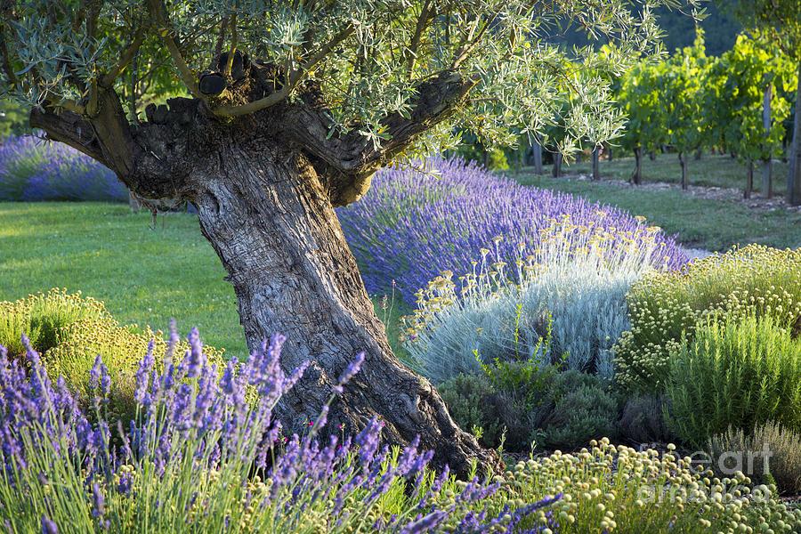 Olive Tree In French Garden Photograph by Brian Jannsen