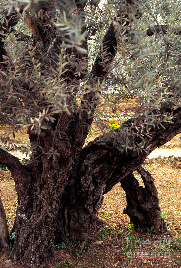 Israel Photograph - Olive Tree In The Garden Of Gethsemane by Thomas R Fletcher