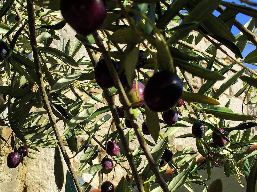 Olive Photograph - Olive Tree by Olga Kurygina