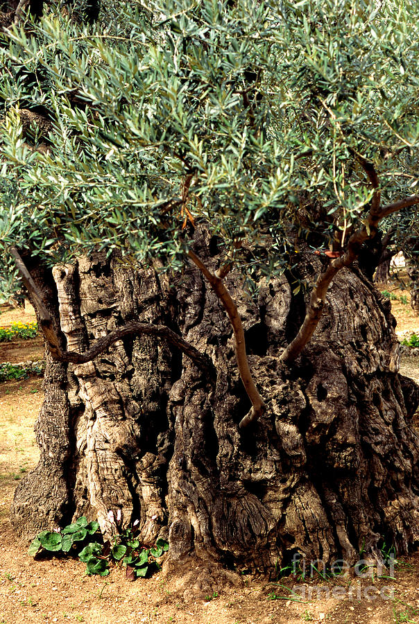 Olive tree the garden of gethsemane photograph by thomas r for Age olive trees garden gethsemane