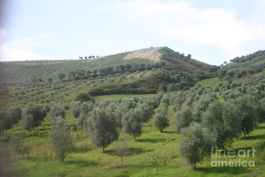 Landscape Photograph - Olive Trees by Dennis Curry