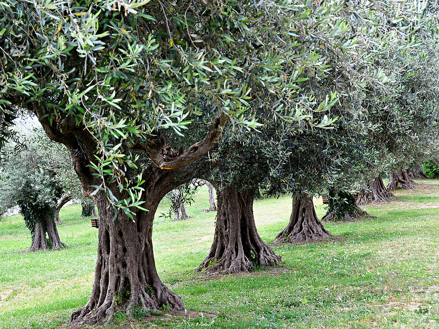 Olive Trees Photograph - Olive Trees In Umbria by Marion McCristall