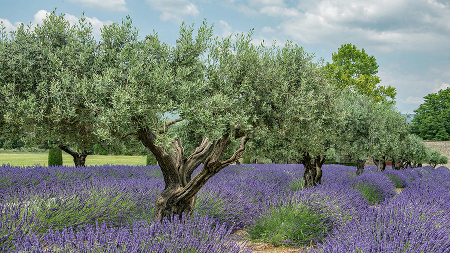 Trees Photograph - Olive Trees Of Provence by Kent Sorensen