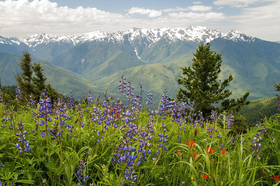 Mountains Photograph - Olympic Mountain Wildflowers by Brian Harig
