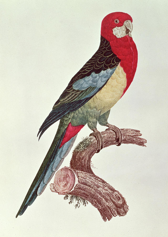 Parakeet Painting - Omnicolored Parakeet by Jacques Barraband