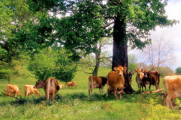 Cattle Photograph - On Emerald Pastures by Jan Amiss Photography