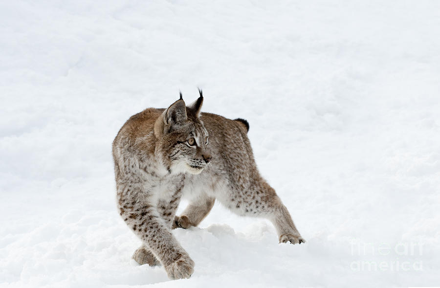 Lynx Photograph - On High Alert by Sandra Bronstein