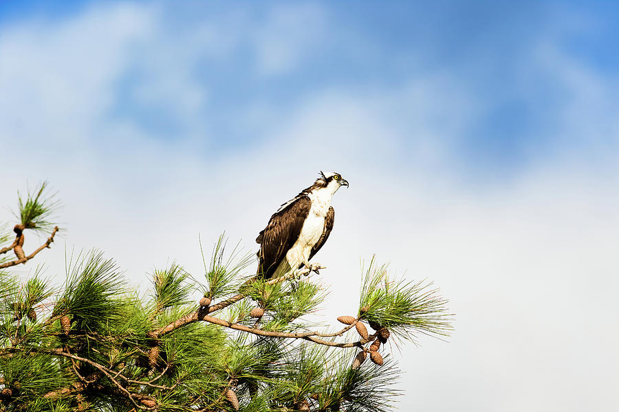 Osprey Photograph - On High by Michael McStamp