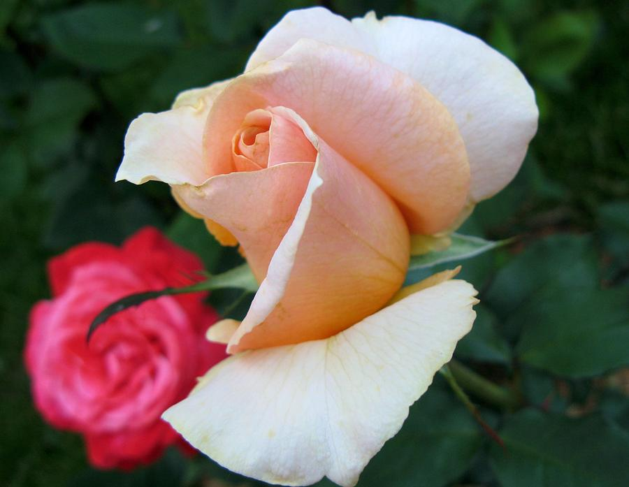 Rose Photograph - On-looker by Carol Sweetwood