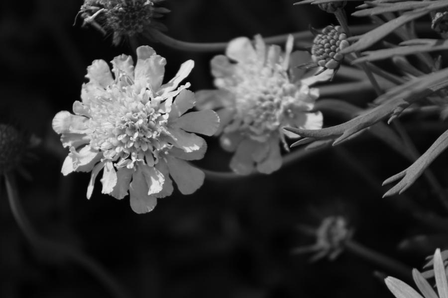 Pincushion Flowers Photograph - On Pins and Needles a Black and White Photograph of Pincushion Flowers by Colleen Cornelius
