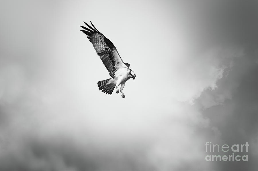 Osprey Photograph - On the Hunt BW by Michael McStamp