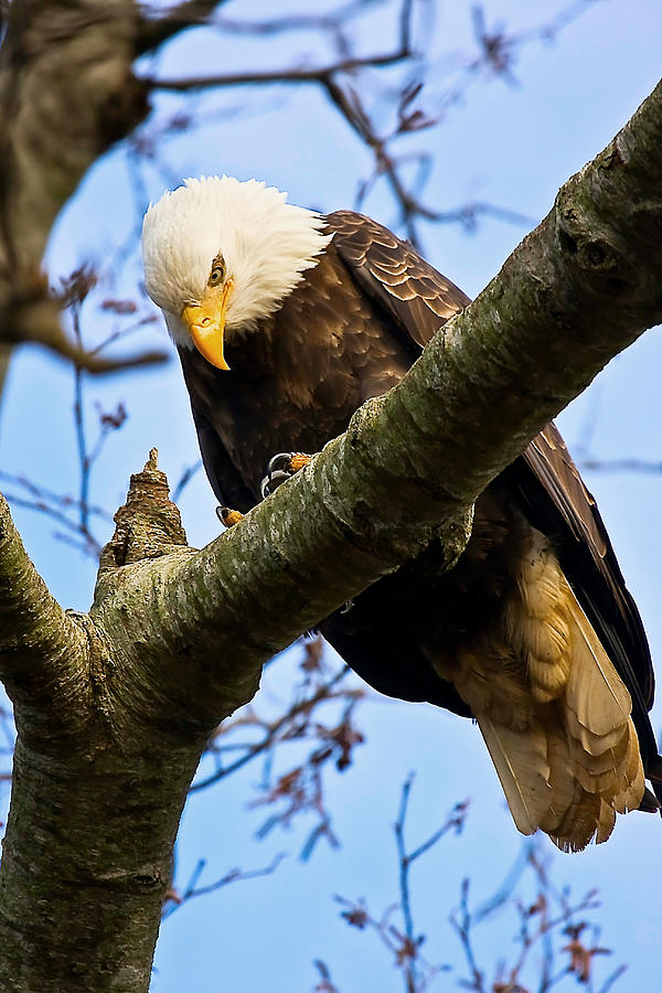 Eagle Photograph - On The Hunt by Naman Imagery