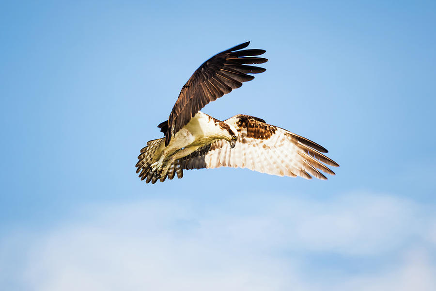 Osprey Photograph - On the Hunt Five by Michael McStamp