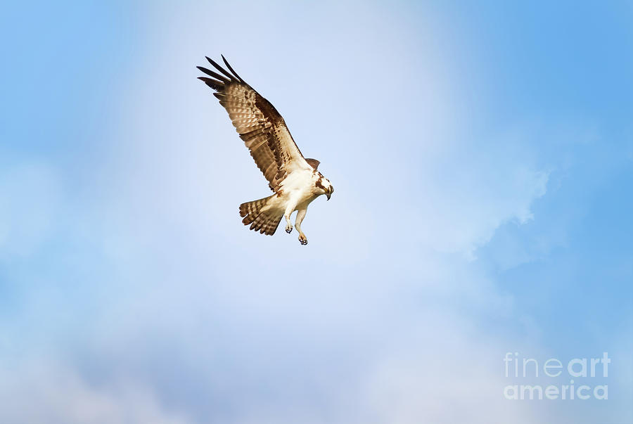 Osprey Photograph - On The Hunt One by Michael McStamp