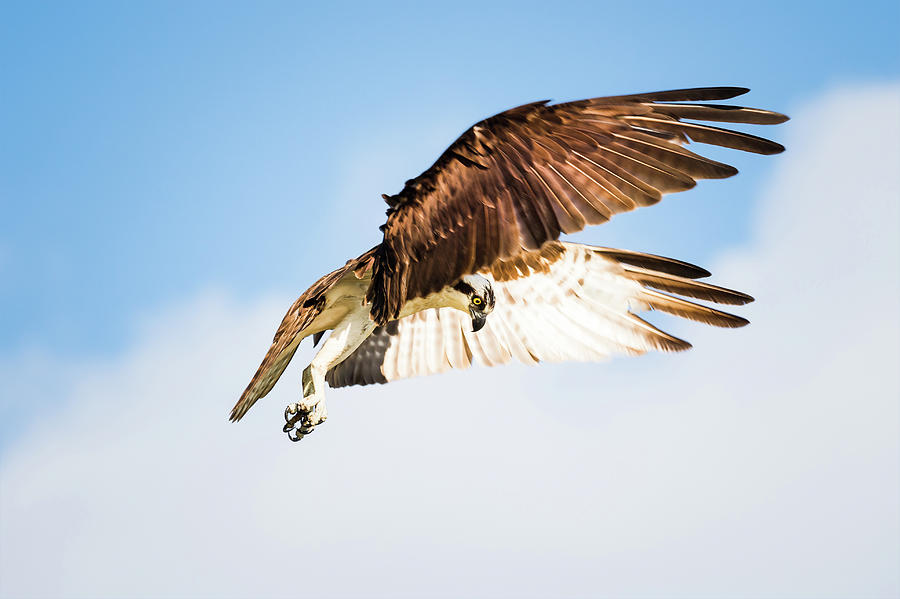 Osprey Photograph - On the Hunt Six by Michael McStamp