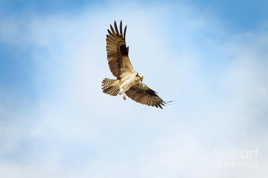 Osprey Photograph - On the Hunt Three by Michael McStamp
