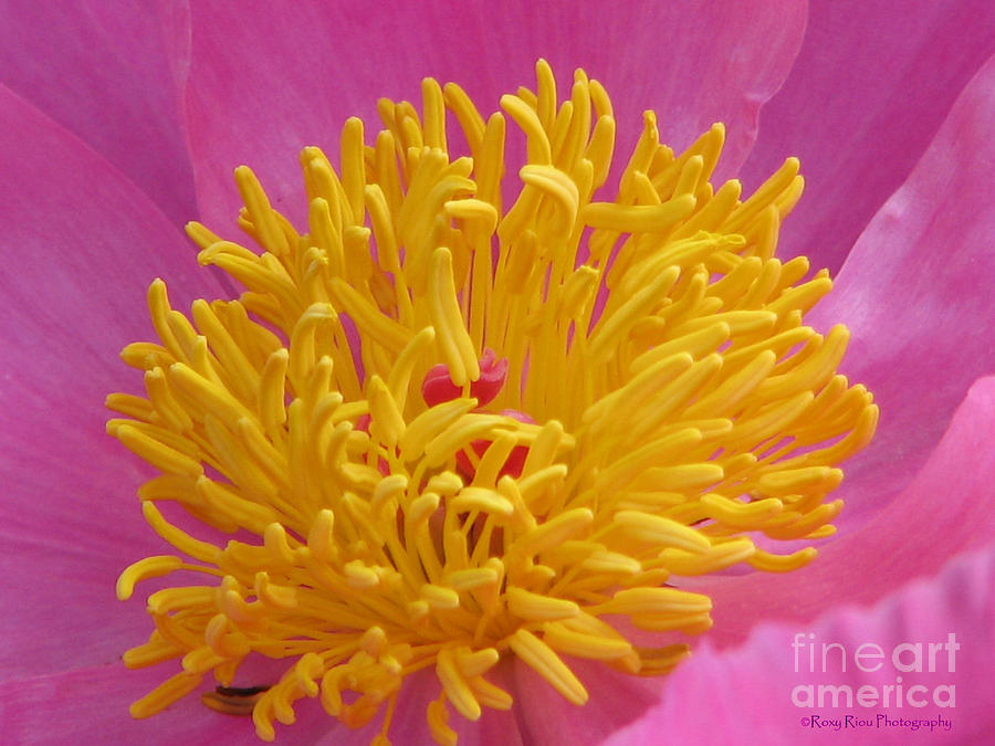 Peony Photograph - On The Inside by Roxy Riou