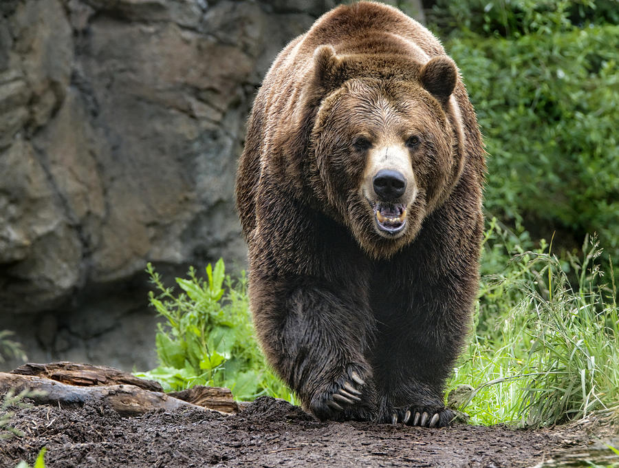 Grizzly Bear Photograph - On The Prowl by Melody Watson