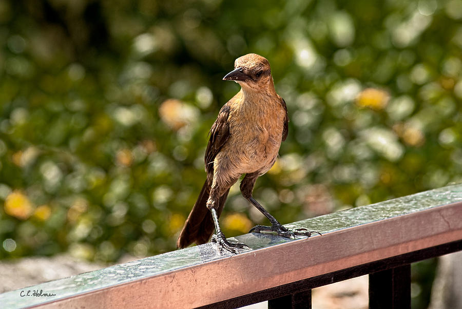 Bird Photograph - On The Rail by Christopher Holmes