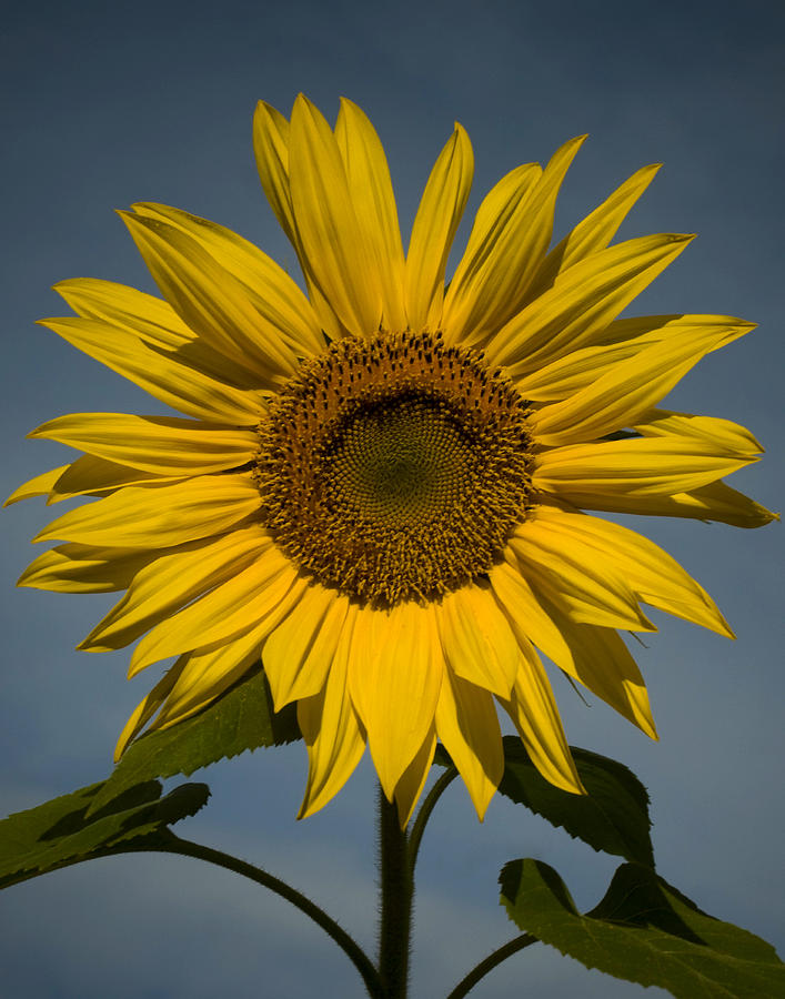 Sunflower Photograph - On the rise by Mark Wiley