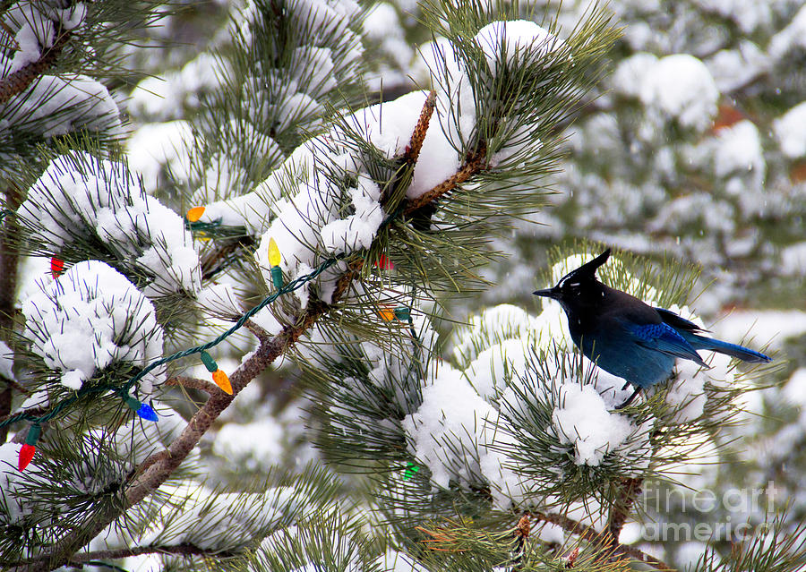 Stellers Jay on the Snow Photograph by Jennie MacDonald