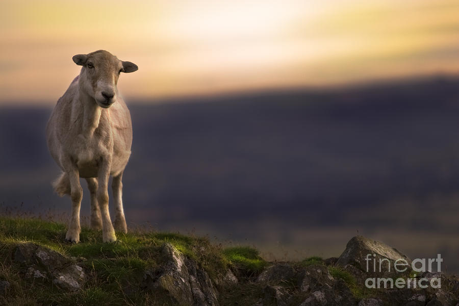 Sheep Photograph - On The Top Of The Hill by Angel Ciesniarska