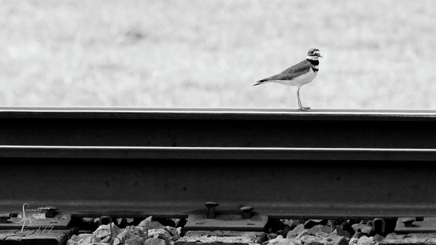 Birds Photograph - On Track by Susan Storey