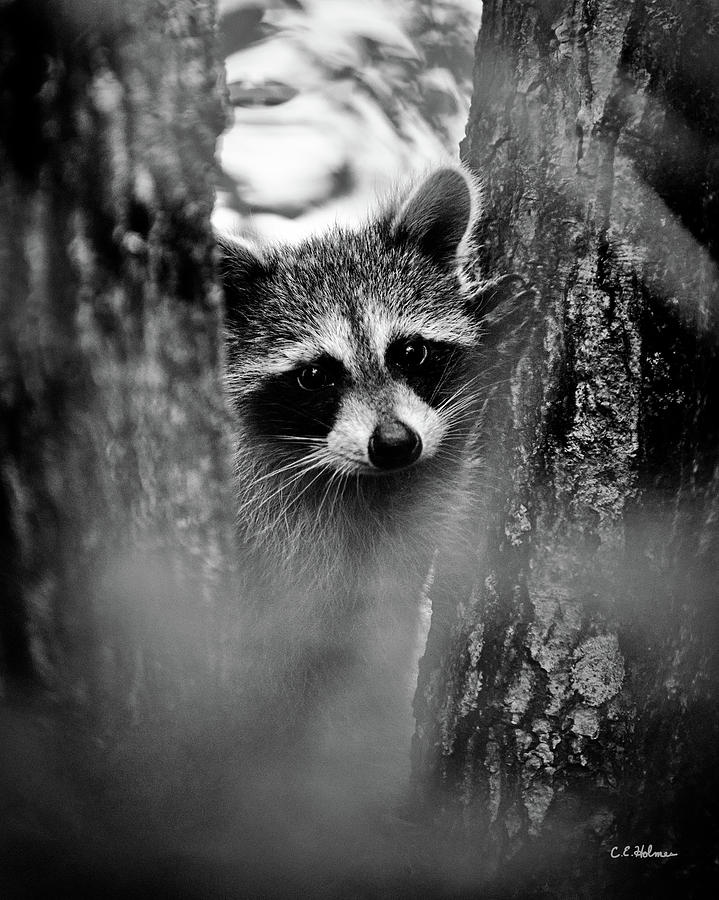 Racoon Photograph - On Watch - Bw by Christopher Holmes