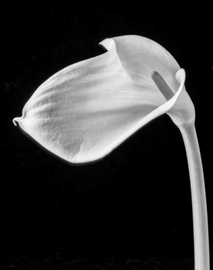 Marvelous Photograph - One Beautiful Calla Lily In Black And White by Garry Gay