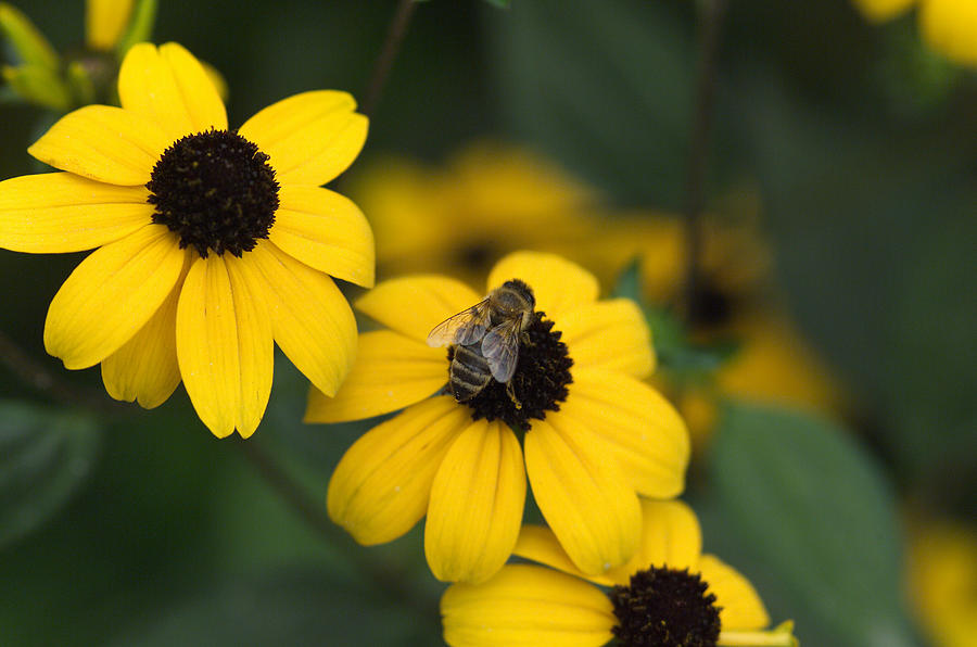 Yellow Photograph - One bee over the flowers nest by Adrian Bud