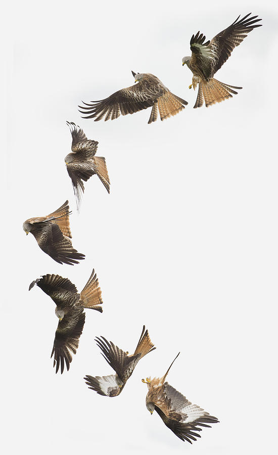 Red Kite Photograph - One Bird One Dive. by Andrew Munro