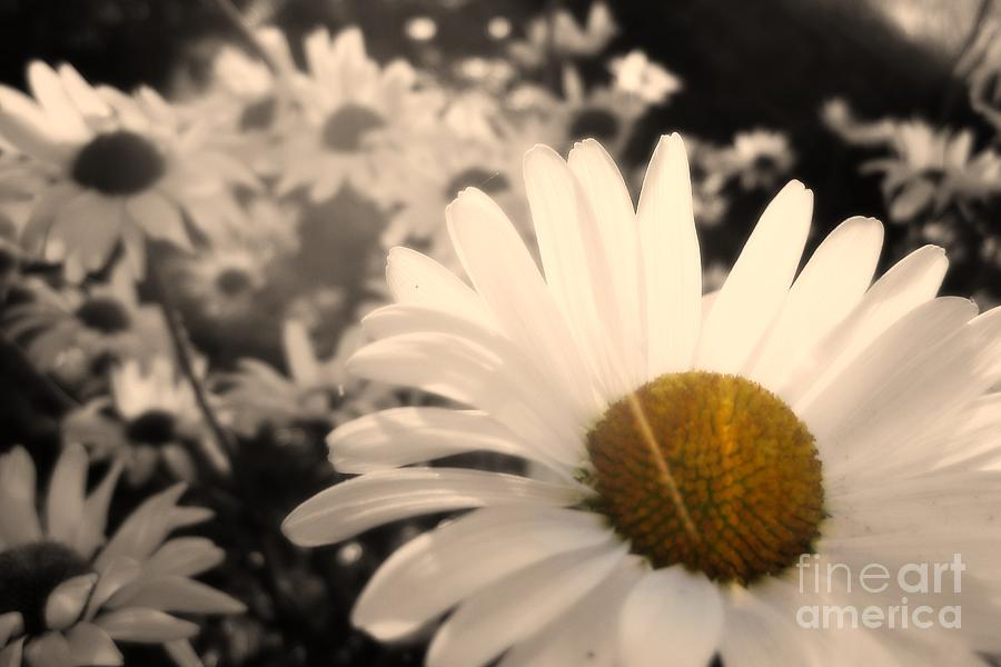 Daisy Photograph - One Daisy Stands Out From The Bunch by Ever-Curious Photography