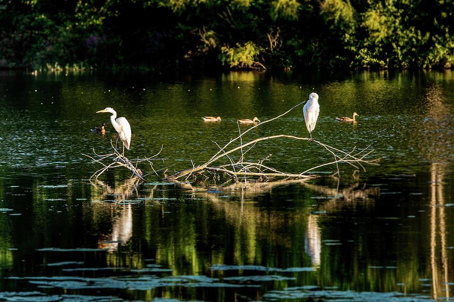 One Legged Egrets by onyonet  photo studios