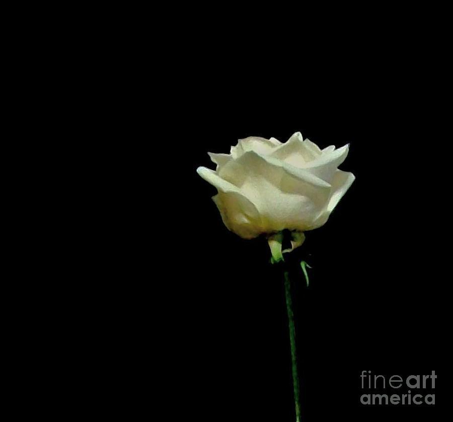 Photo Photograph - One Merangue Rose by Marsha Heiken