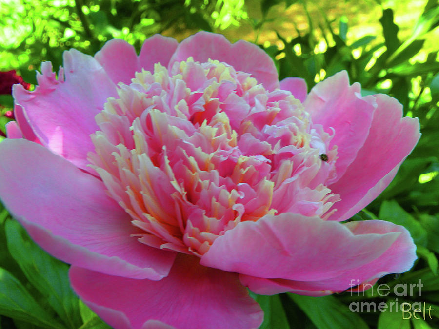 Floral Photograph - One Of The Peony Sisters Of Nebraska City  by Christine Belt
