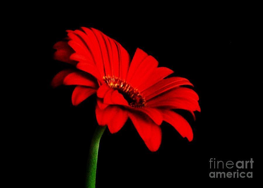 Photo Photograph - One Red Daisy by Marsha Heiken