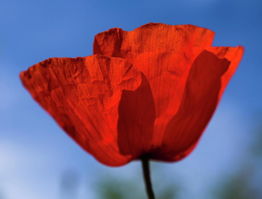 One red poppy by Giovanni Bertagna