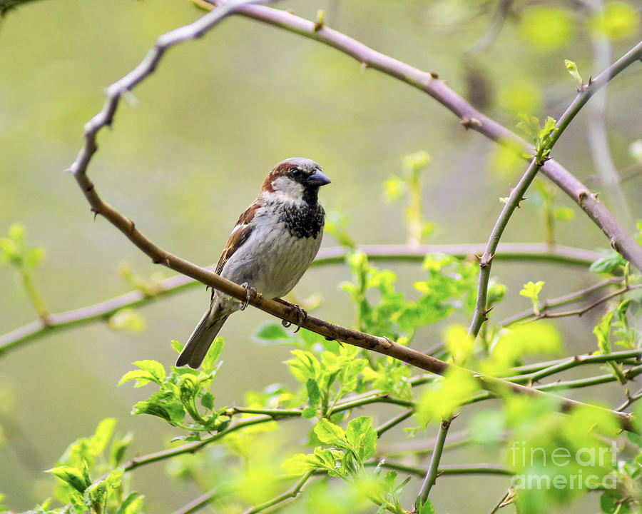 One Sparrow Photograph