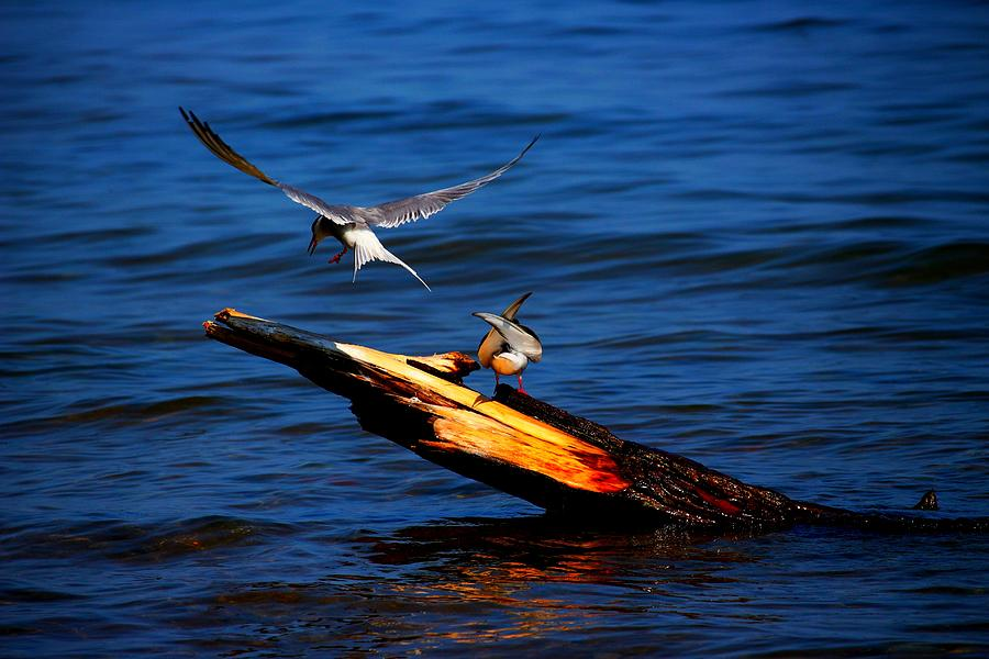 Birds Photograph - One Tern Flight by Amanda Struz