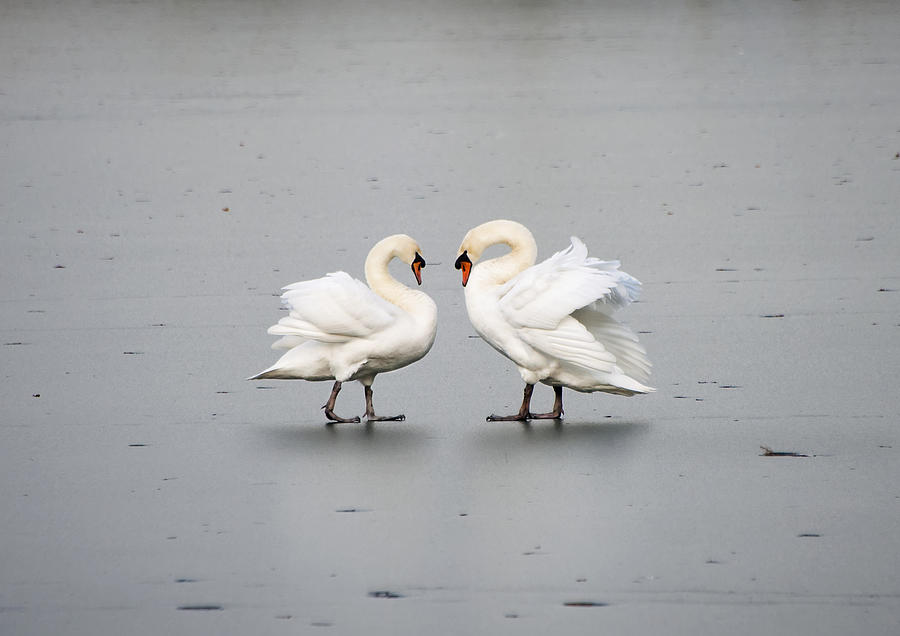 Swans Photograph - Only You And Me... by Gouzel -
