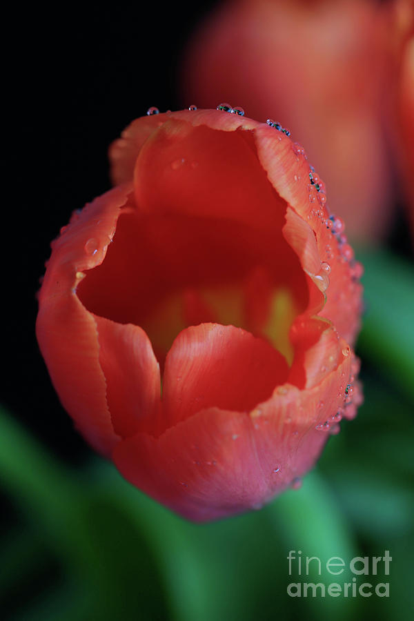 Tulips Photograph - Opened Tulip by Tracy Hall