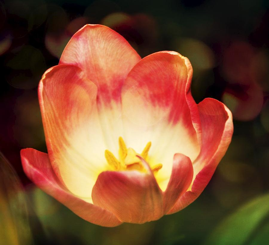 Flowers Photograph - Opening Of A Tulip by Cathie Tyler